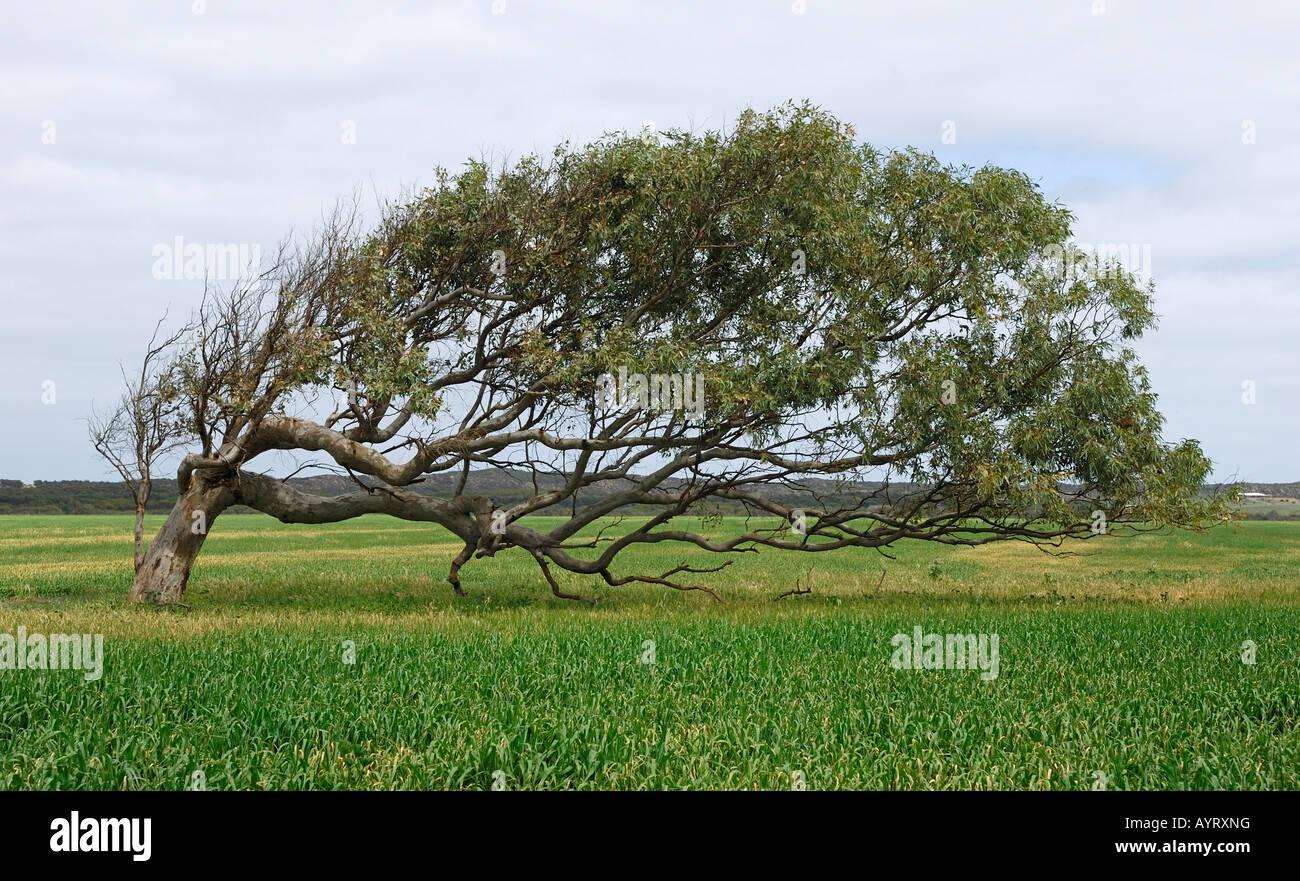 baum gelehnt gum tree eukalyptus standhalten jahrelange. Black Bedroom Furniture Sets. Home Design Ideas