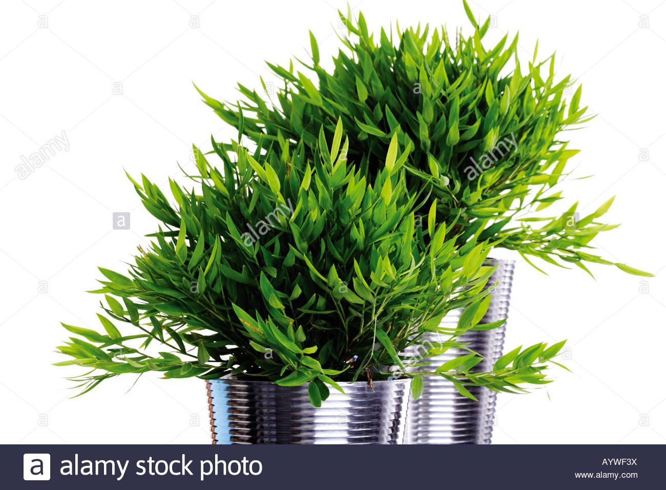 ornamental plant stockfotos ornamental plant bilder alamy. Black Bedroom Furniture Sets. Home Design Ideas