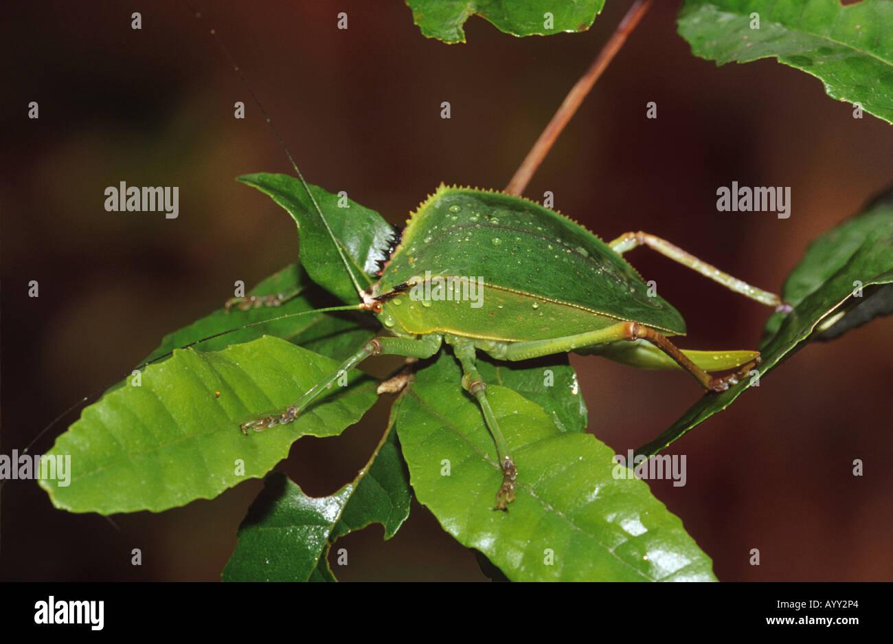 Tettigoniidae spec Stockbild