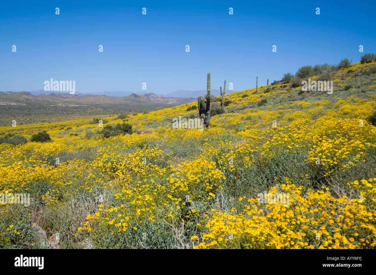 Saguaro-Kaktus und Brittlebush Superstition Mountains Arizona USA Stockfoto