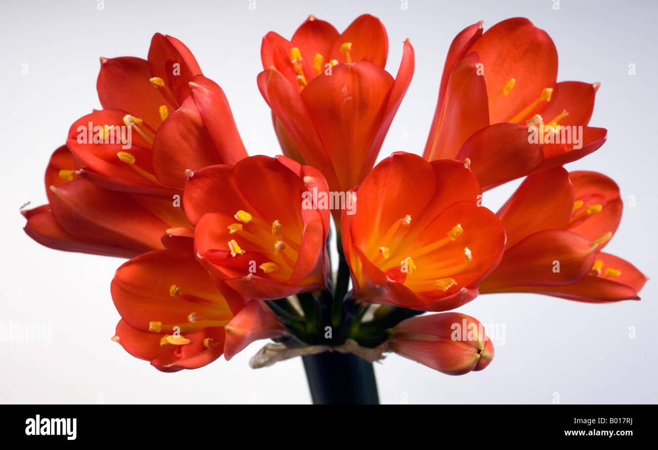 orange agapanthus stockfotos orange agapanthus bilder alamy. Black Bedroom Furniture Sets. Home Design Ideas