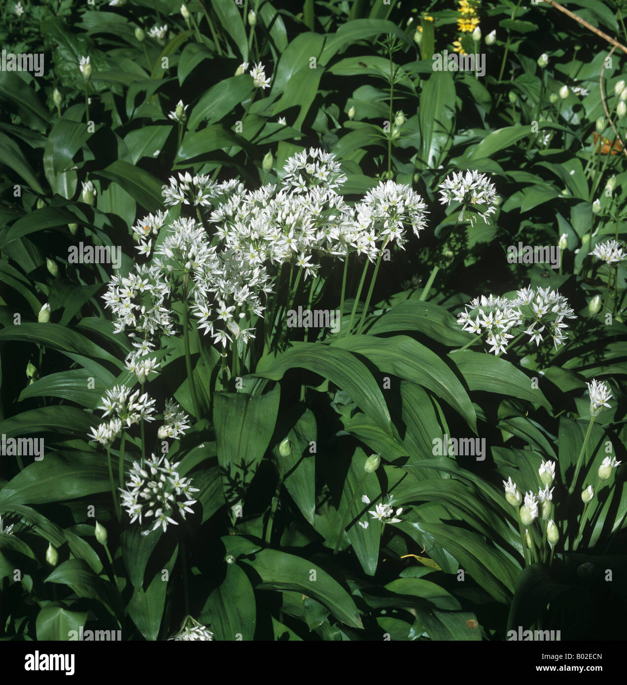 knoblauch oder b rlauch allium ursinum bl hende wildpflanzen in buche wald stockfoto bild. Black Bedroom Furniture Sets. Home Design Ideas
