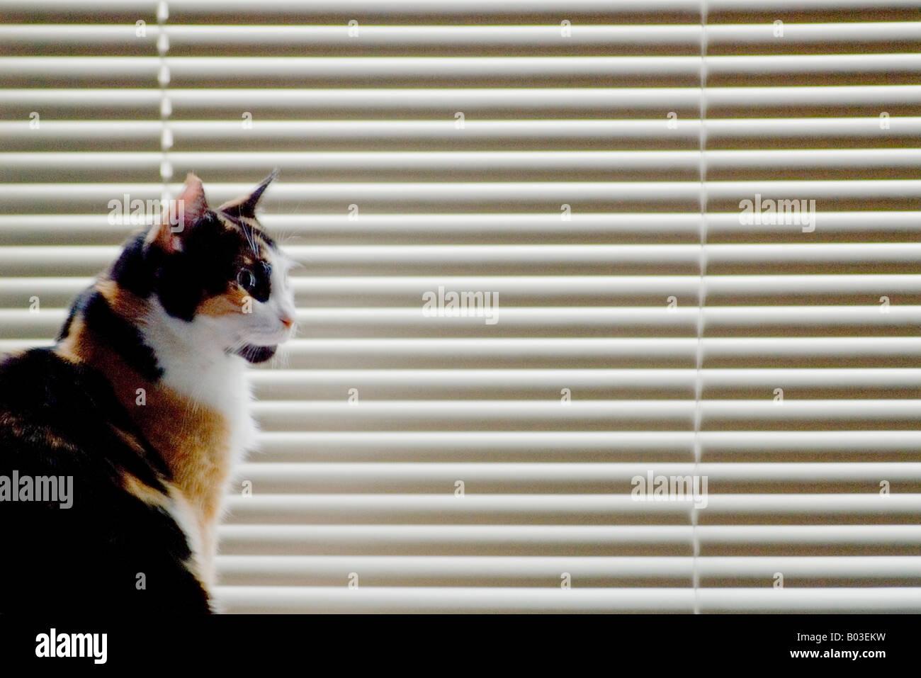 Katze gegen venezianischen Fenster-Vorhänge Stockbild