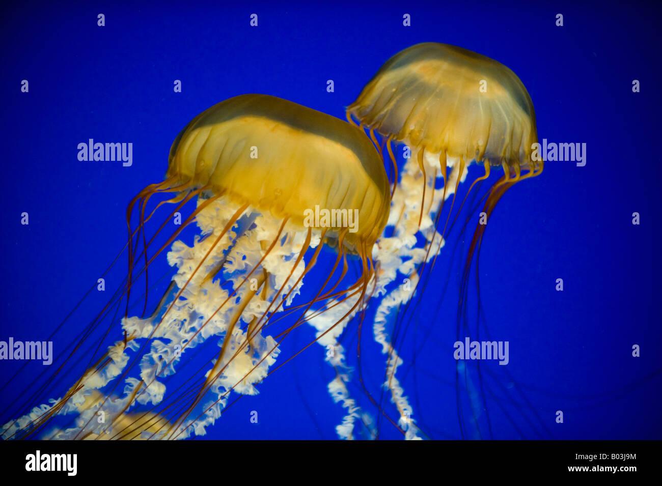 Pazifischen Meer Nesseln (Chrysaora Fuscescens) Oregon Coast Aquarium, Newport, OREGON Stockbild