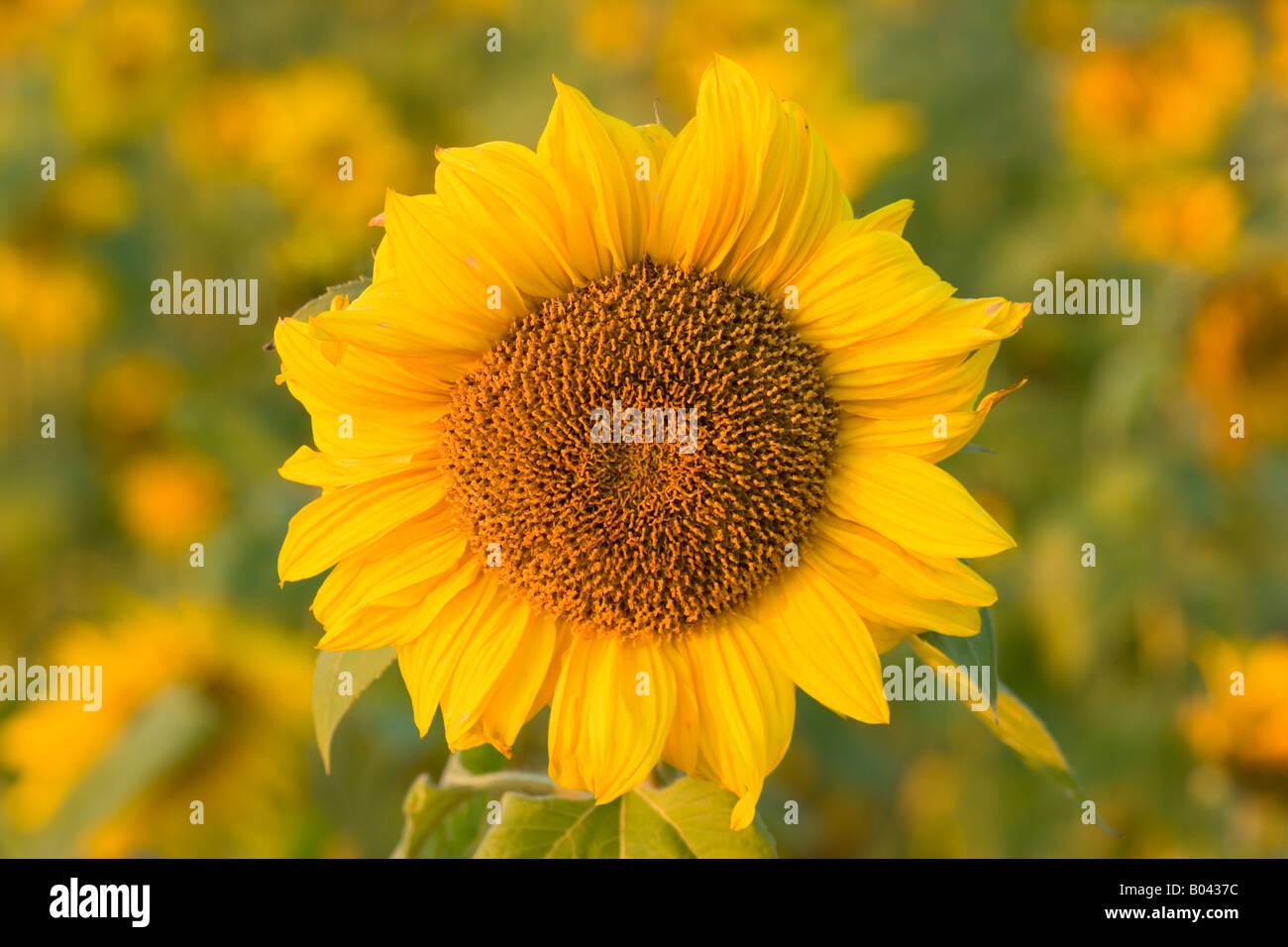 Blüte einer Sonnenblume in ein ganzes Feld von Blumen im letzten Abendlicht Baden-Württemberg Deutschland Stockbild
