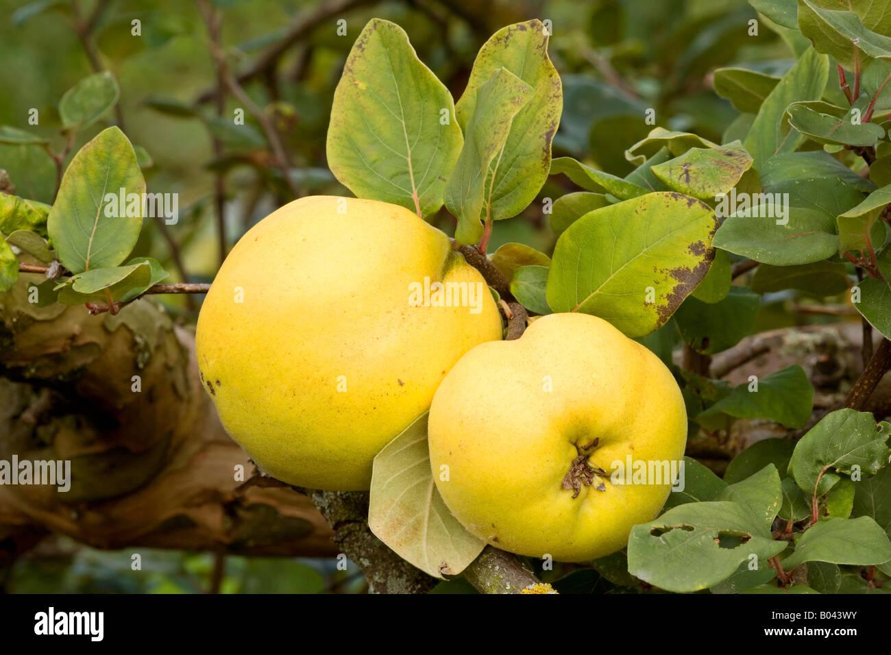 Quitten reifen Früchte hängen an Zweig der Quitte Baum Deutschland Stockbild