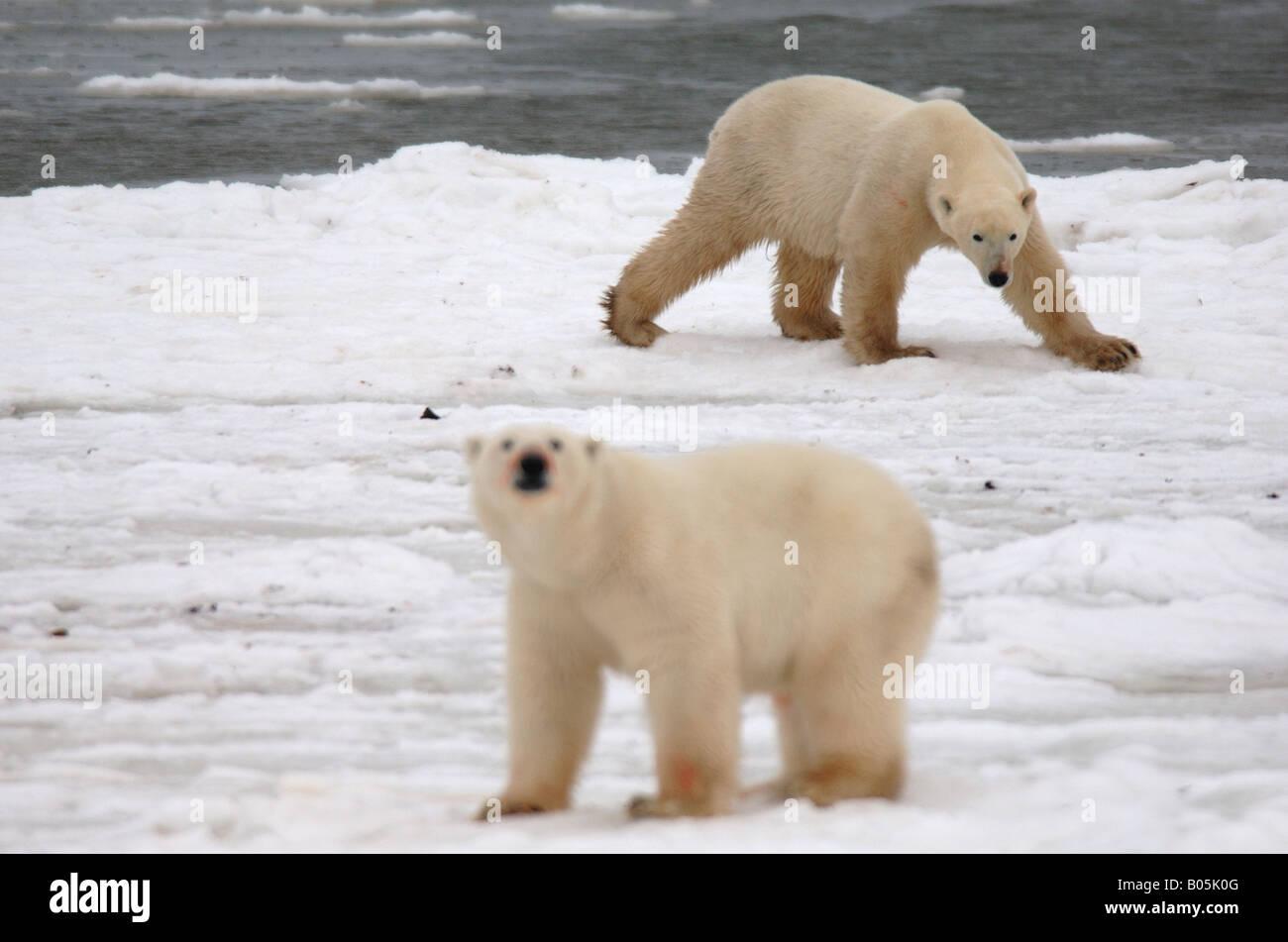 Manitoba Hudsonbai einzigartige Fotos von männlichen Eisbären Fütterung auf eine Karibu-Karkasse Stockbild