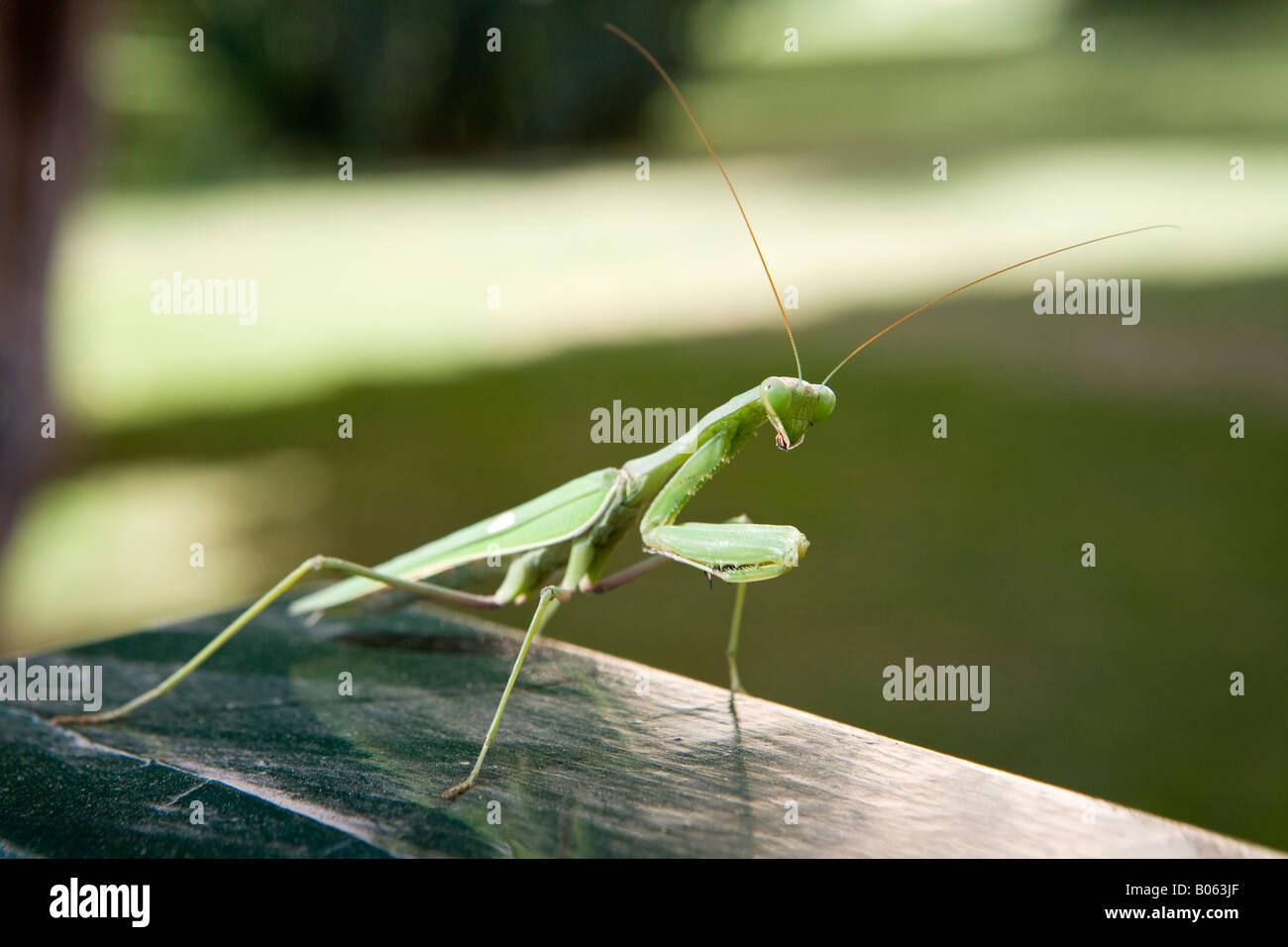 Gottesanbeterin-stalking-Opfer Stockbild