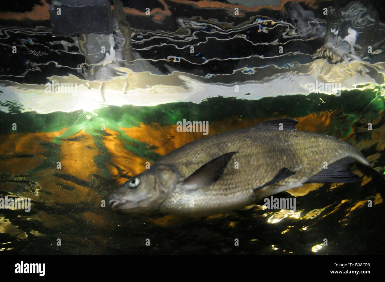 Detail carp stockfotos detail carp bilder alamy - Aquarium hintergrund ausdrucken ...