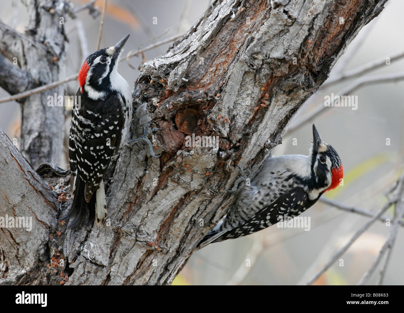 Zwei Nuttall Spechte betrachten einander von entgegengesetzten Seiten des Baumes in San Diego, Kalifornien, USA Stockbild