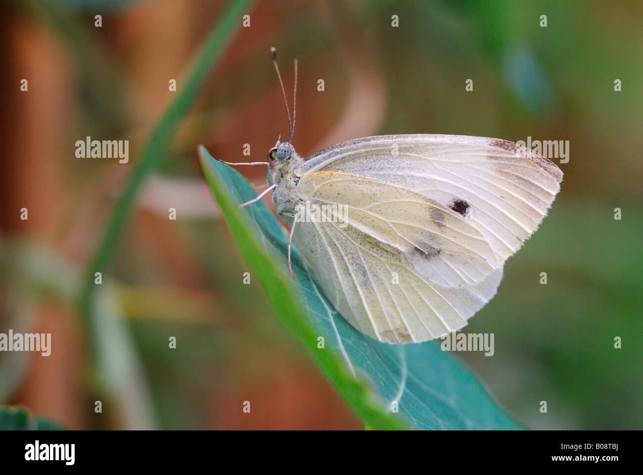 Große weiße oder Kohlweißling Schmetterling (Pieris Brassicae) Stockbild