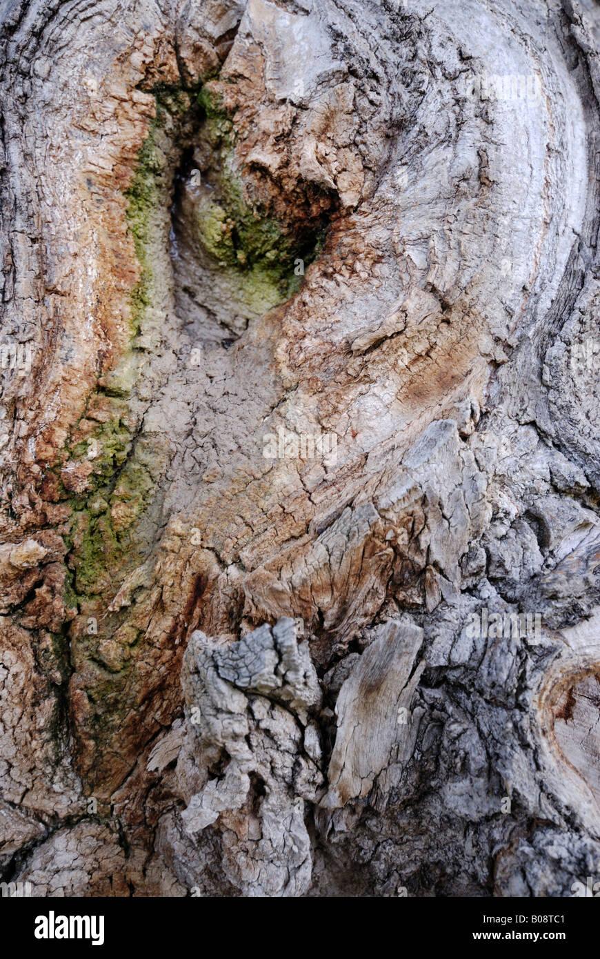 Rinde, wächst über eine Verzweigung, die abgesägt worden ist Stockbild