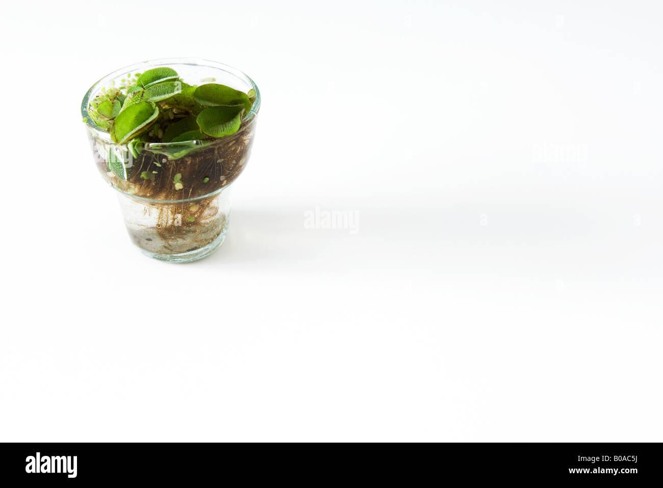 pflanze w chst in glas wasser stockfoto bild 17439454 alamy. Black Bedroom Furniture Sets. Home Design Ideas