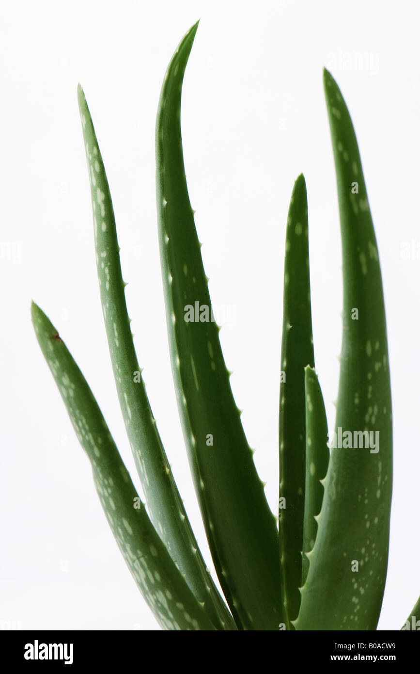 aloe vera plant stockfotos aloe vera plant bilder alamy. Black Bedroom Furniture Sets. Home Design Ideas