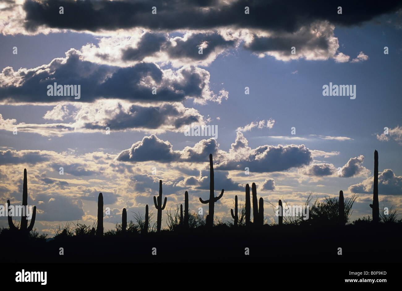 Eine Reihe von Saguaro Kakteen sind Silhouette gegen einen Nachmittag Himmel Stockfoto