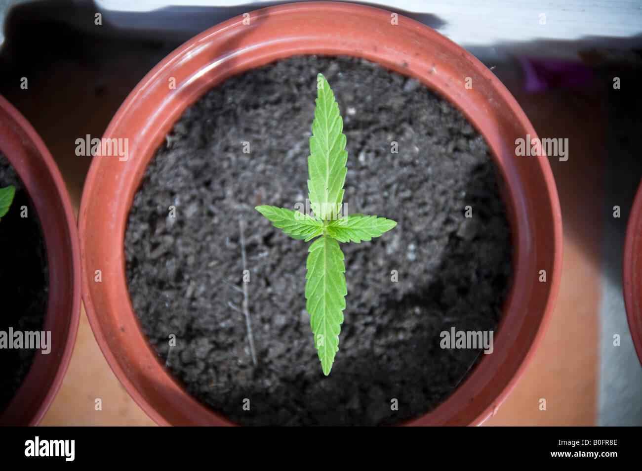 08 08 08 Vejer De La Frontera Andalusien Spanien Cannabis Anbau Foto Simon Grosset Stockbild