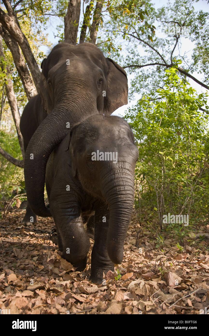 Mutter und Baby Indische Elefanten gemeinsam spielen, nachdem sie von ihren Mahouts im Wald der Kanha Wildlife Park Stockfoto