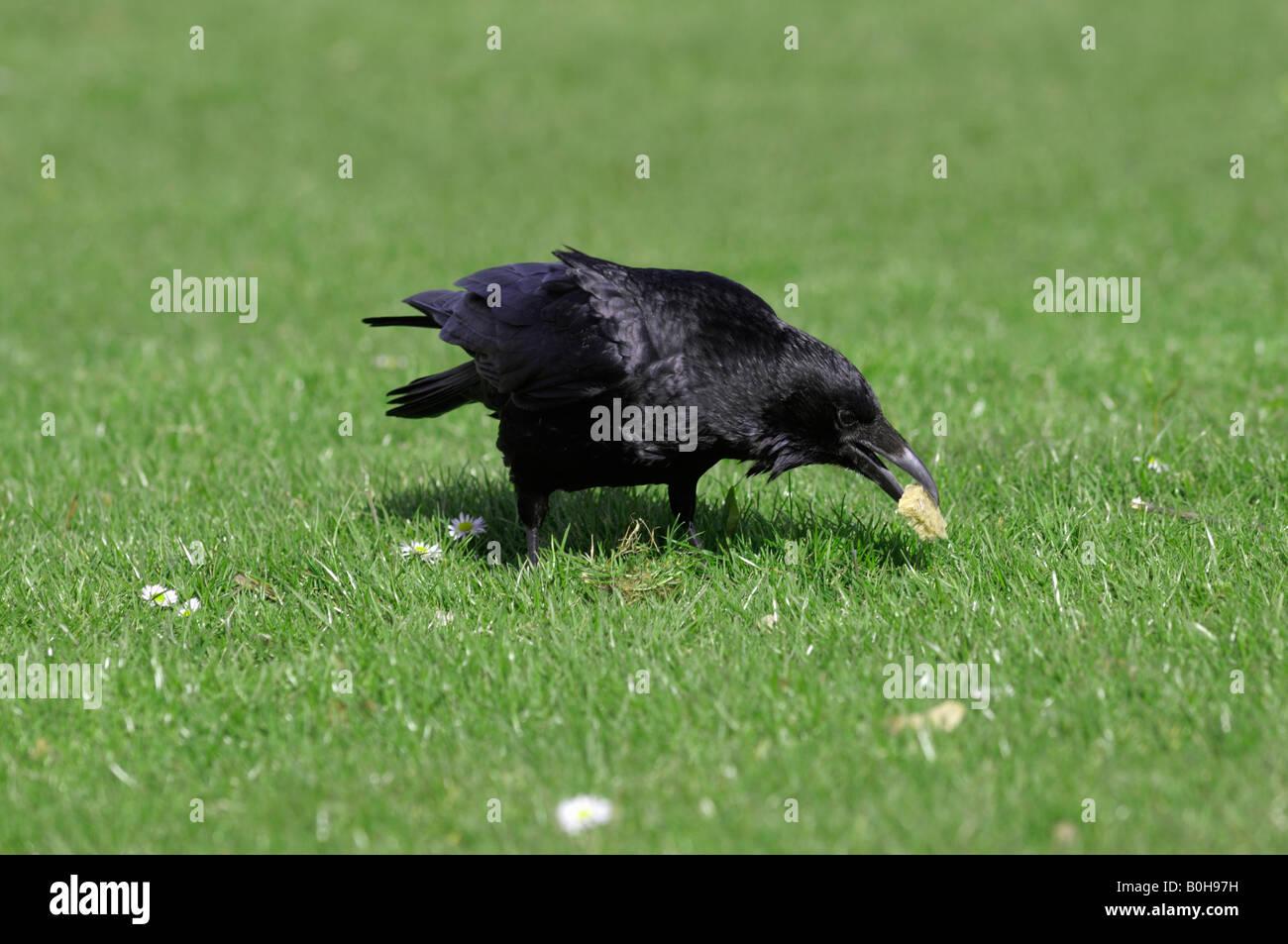 AAS-Krähe (Corvus Corone Corone) Fütterung auf Brot Stockbild