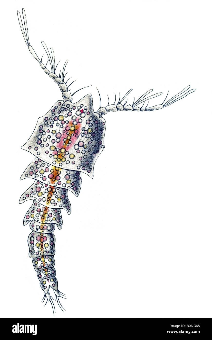 Copepoda Ruderkrebse Name Klytämnestra Scutellata Haeckels Kunstformen der Natur Jugendstil 20th Century Europe Stockbild
