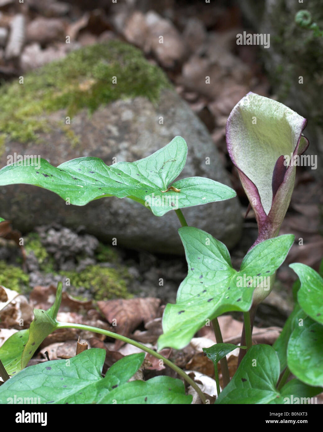 kuckuck pint arum maculatum bl tenst nden spatha und lila gefleckte bl tter zeigen stockfoto. Black Bedroom Furniture Sets. Home Design Ideas