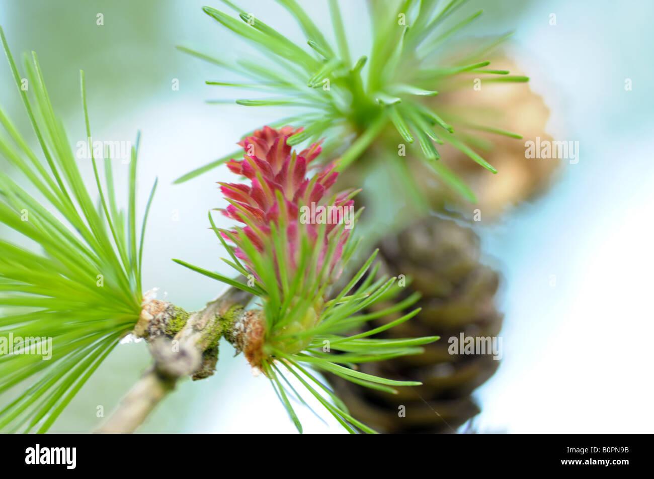 Die weibliche Blüte des Baumes Lärche (Larix Decidua) Stockfoto