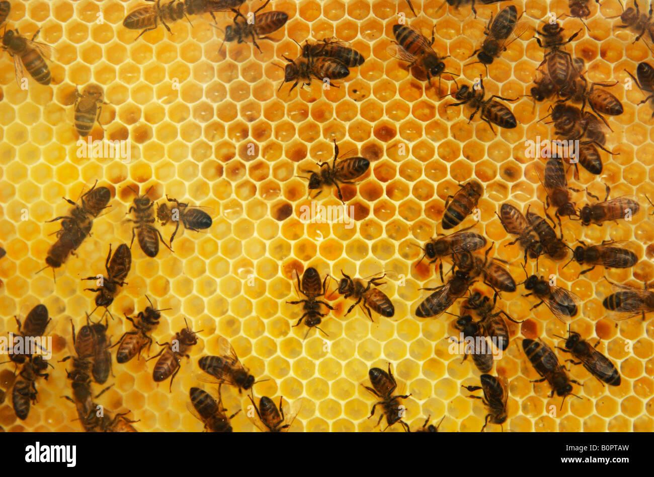 Bienen arbeiten an einem Honeycombe Behive Rahmen. Stockbild