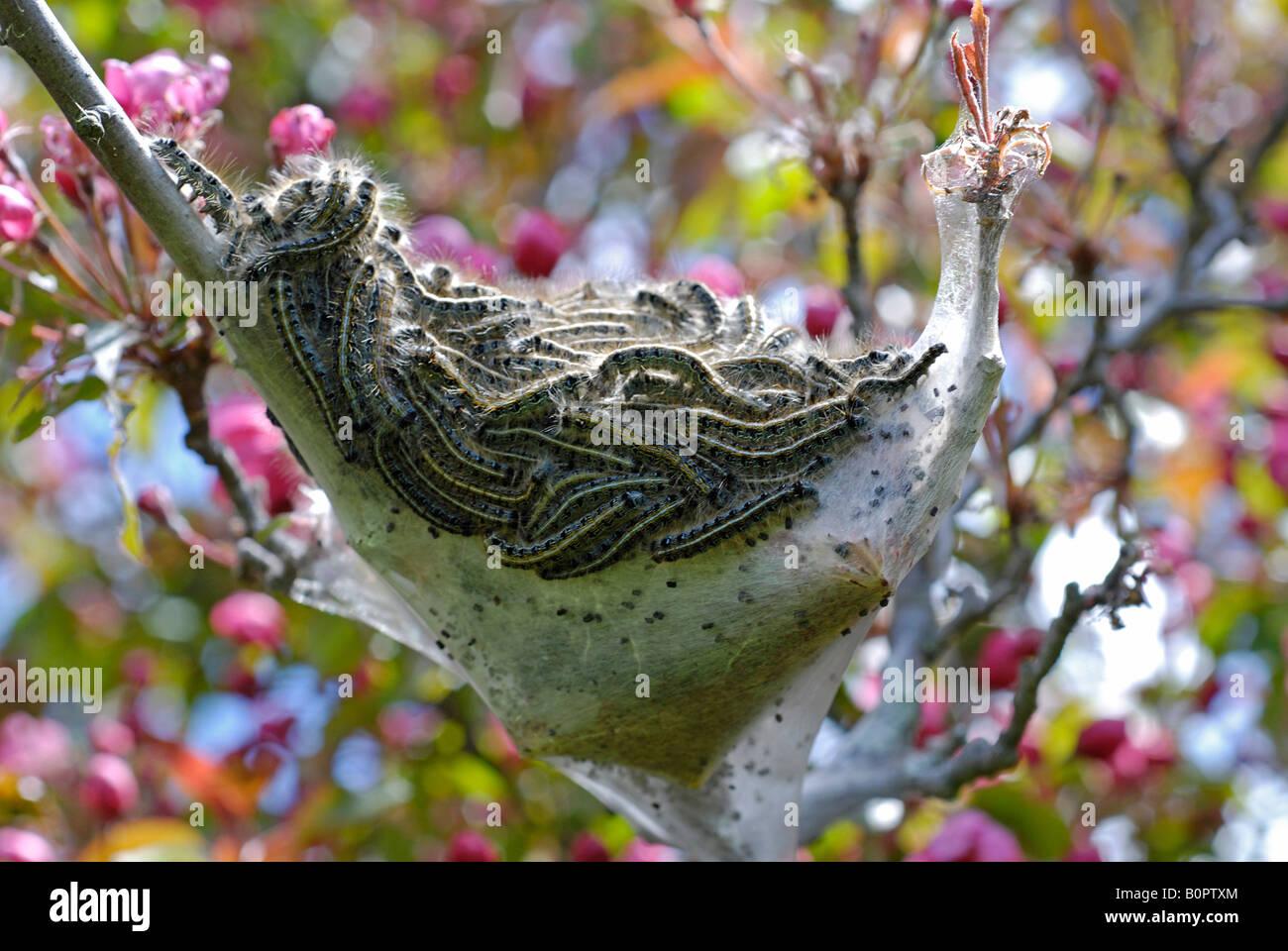 Zelt-Raupen und Nest Stockbild