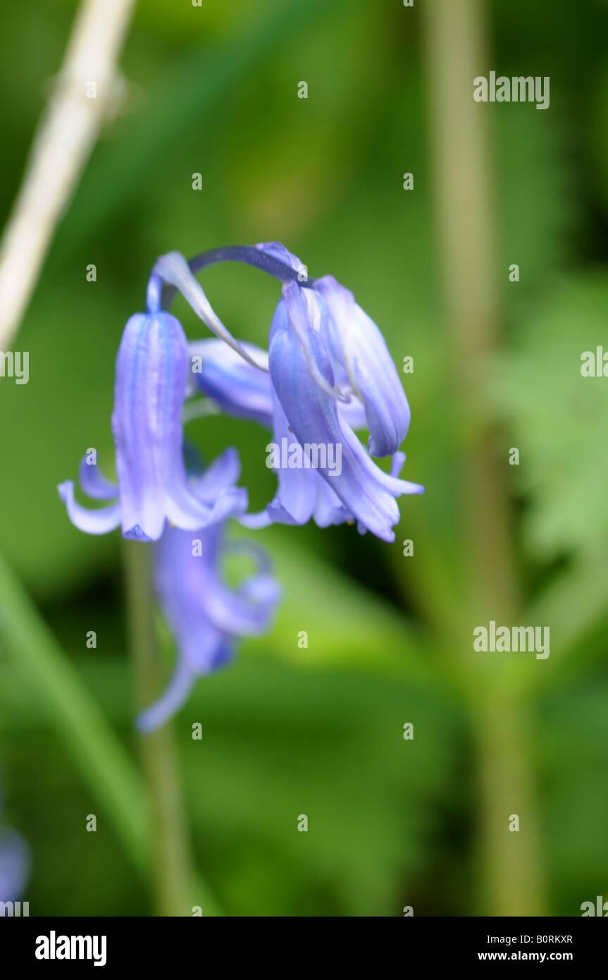 Gemeinsamen Bluebell (Hyacinthoides non-Scripta) Stockfoto