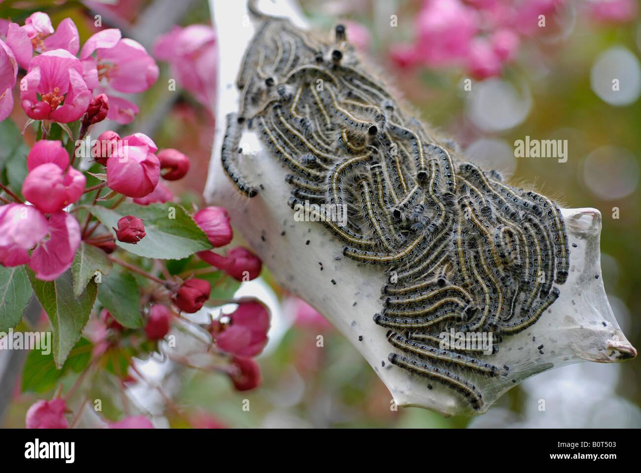 Zelt-Caterpillar Nest in Crab Apple Tree Stockbild