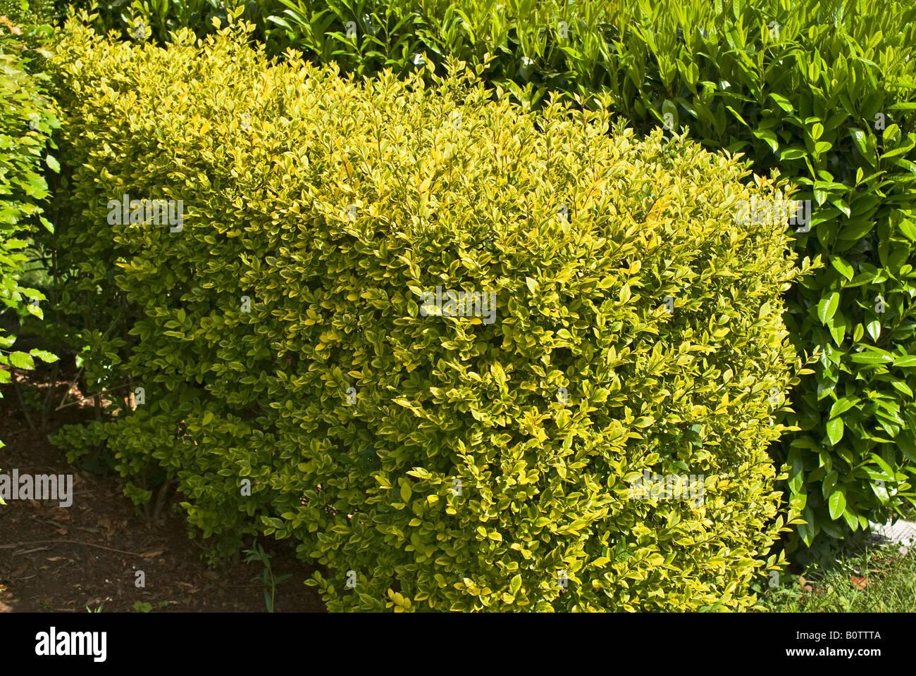 fr hling wachstum auf einer goldenen liguster hecke im mai stockfoto bild 17756714 alamy. Black Bedroom Furniture Sets. Home Design Ideas