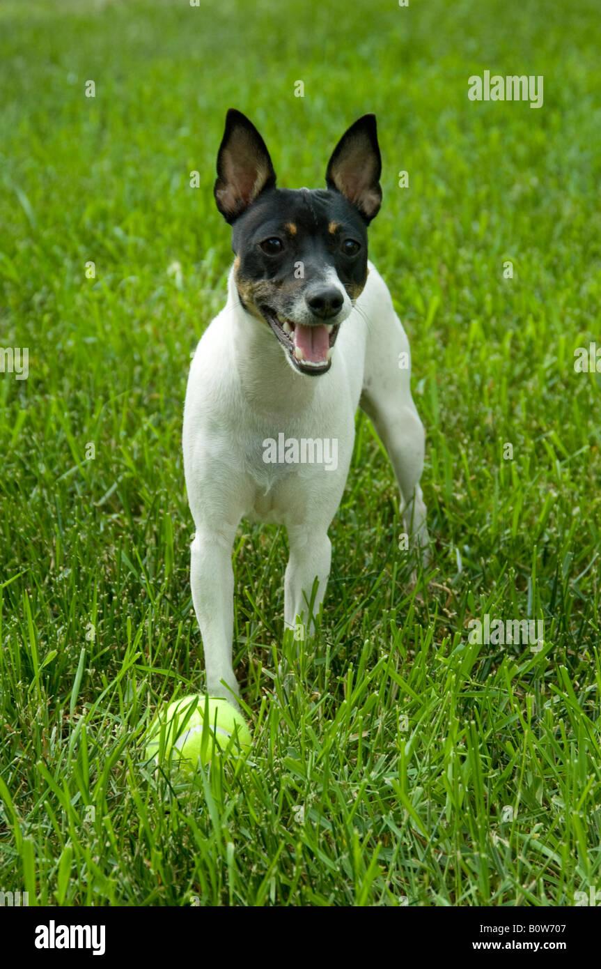 Terrier Fox Stockfotos & Terrier Fox Bilder - Seite 2 - Alamy