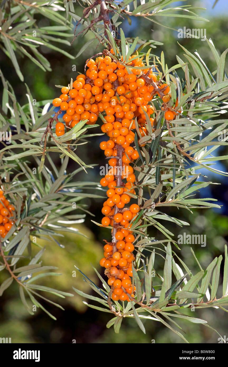 Sanddorn (Hippophae Rhamnoides), Zweig mit Beeren Stockfoto