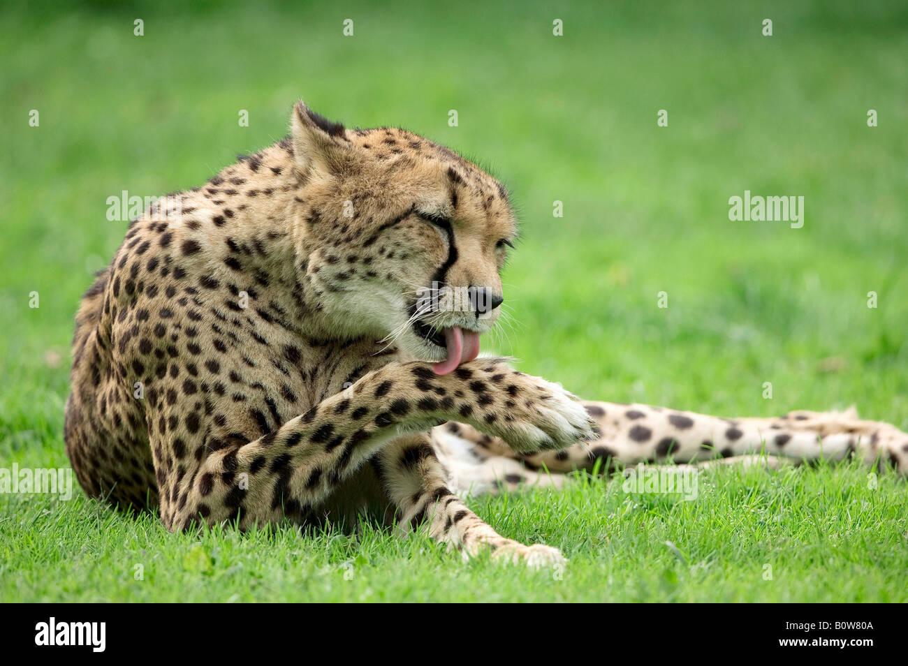 Gepard (Acinonyx Jubatus) seine Pfote lecken Stockbild