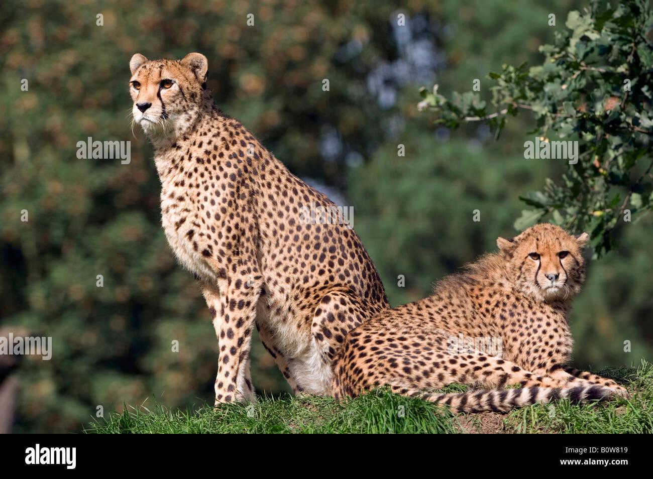 Gepard (Acinonyx Jubatus), Weibchen mit Jungtier Stockbild