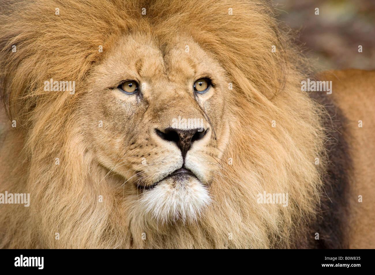 Löwe (Panthera Leo), Mann Stockbild
