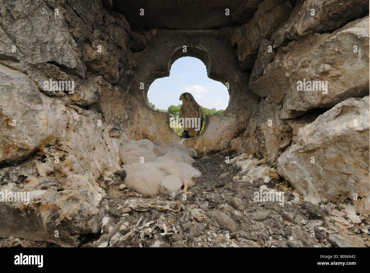 Turmfalken (Falco Tinnunculus), Mutter am Eingang zu ihrem Nest in einem Kirchturm Beute bringen ihre sechs Küken Stockbild