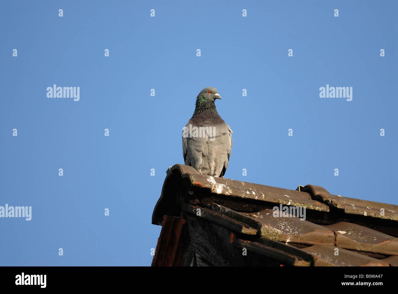 Felsen-Taube oder häusliche Taube (Columba Livia Domestica) thront auf einem Dach Giebel Stockbild