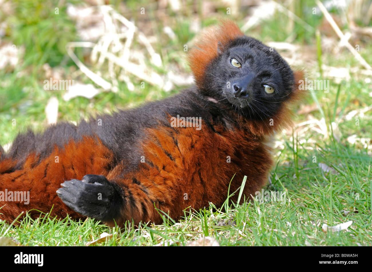 Red Ruffed Lemur (Varecia Rubra) Stockbild