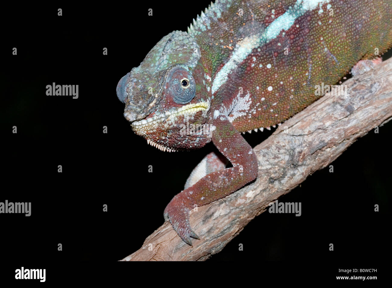 Männliche Pantherchamäleon (Furcifer Pardalis), natürliche Farbe, Madagaskar, Afrika Stockbild