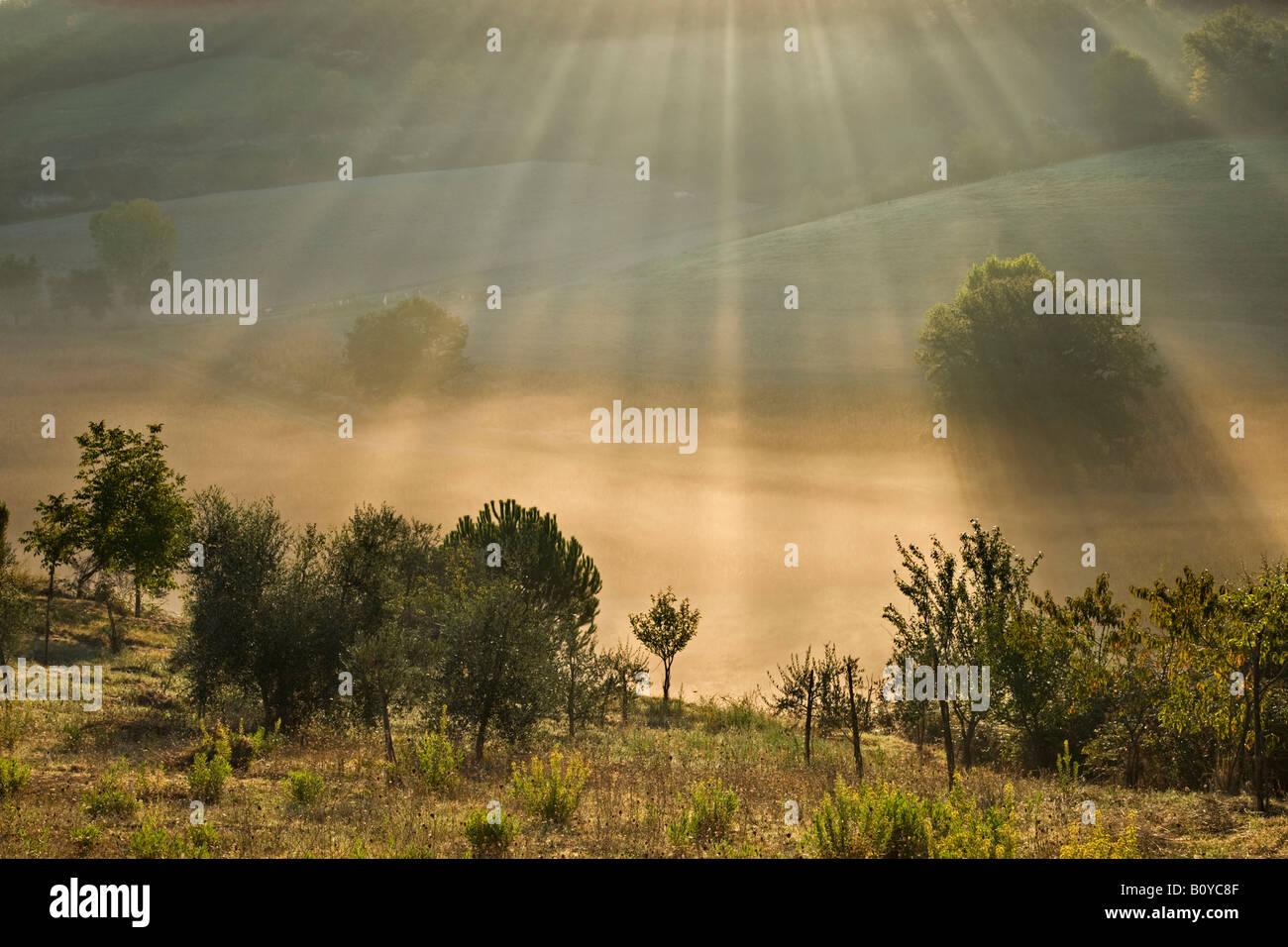 Italien, Toskana, Olivenbäume im Morgennebel Stockbild
