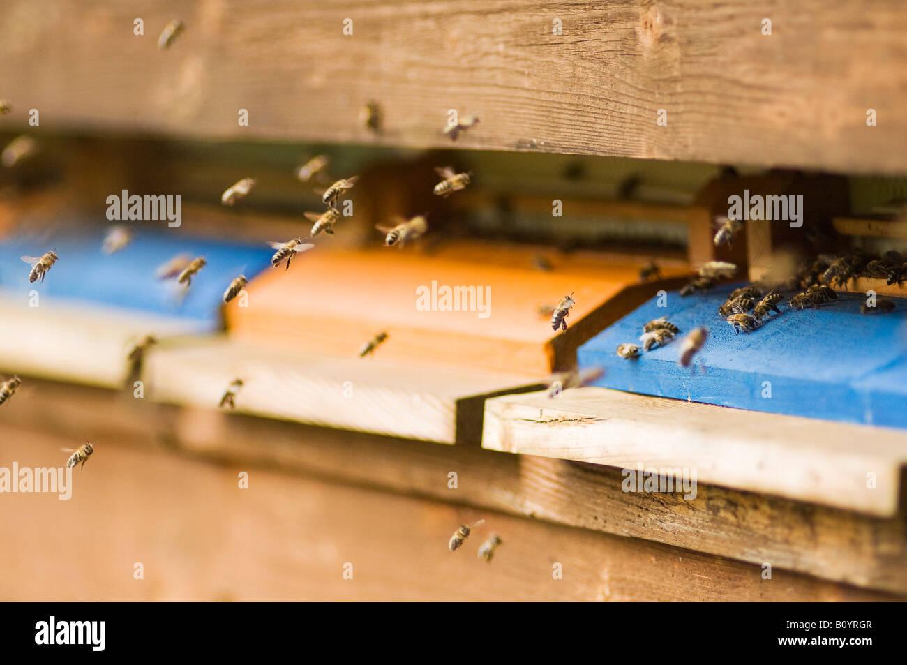 Nesselsucht Honigbiene (Apis Mellifera) Stockbild