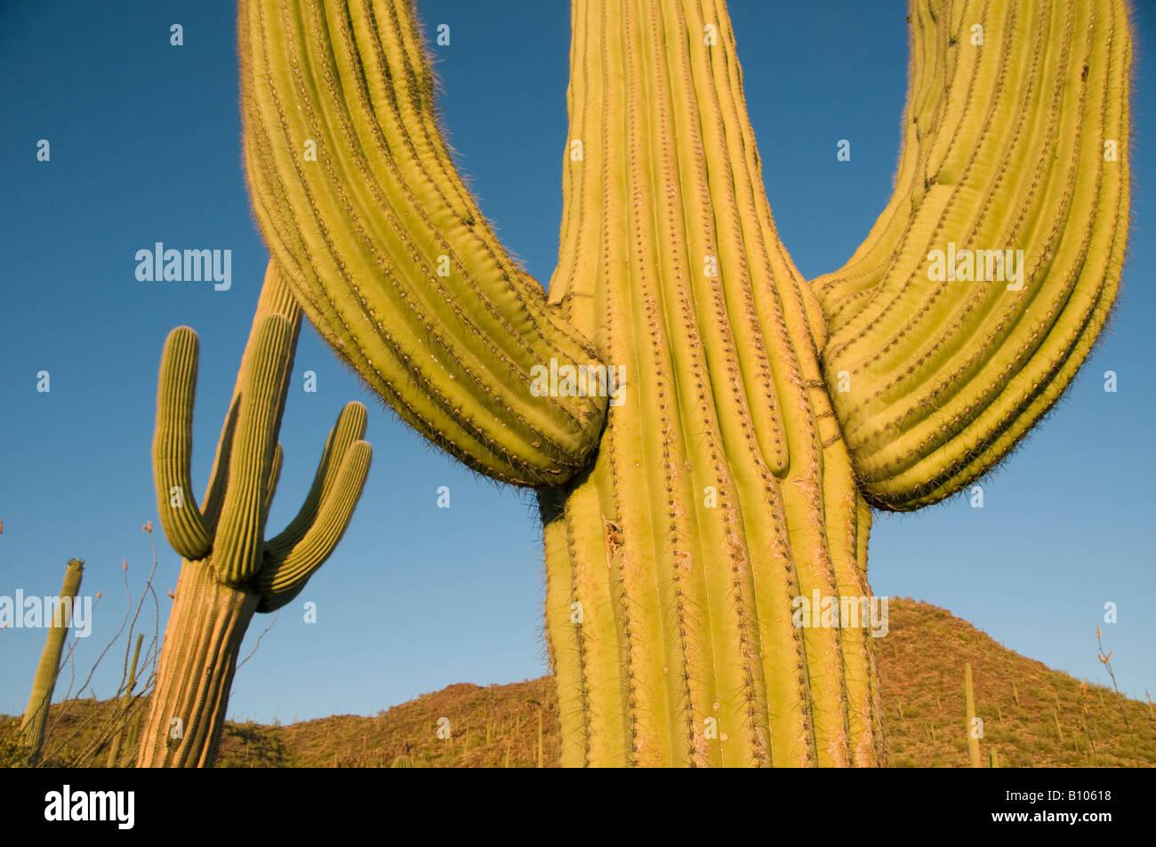 Saguaro-Kaktus (Carnegiea Gigantea) bei Sonnenuntergang, Saguaro National Park, Tucson, Arizona Area, USA Stockbild
