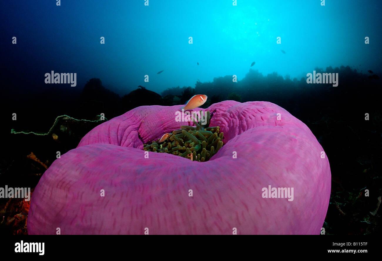 Rosa Anemonefishes in prächtigen Anemone Amphiprion Perideraion Heteractis Magnifica Bali Indischer Ozean Indonesien Stockbild