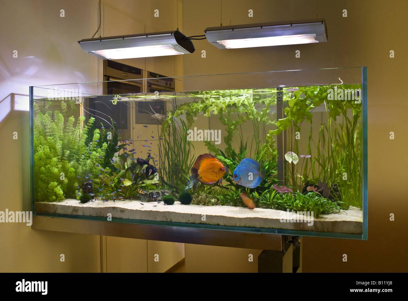 Aquarium mit symphysodon aequifasciatus diskus for Diskus aquarium