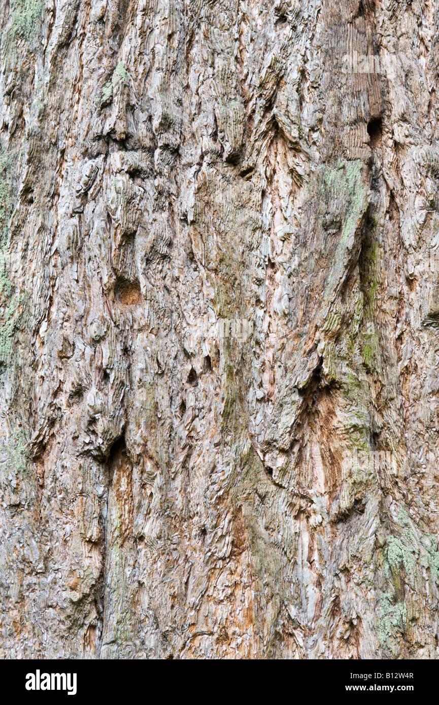 Taxodiaceae stockfotos taxodiaceae bilder alamy - Baum auf spanisch ...