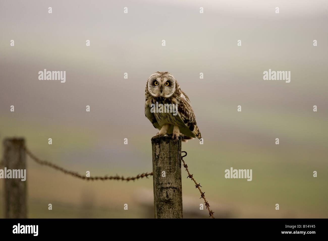 Kurze Eared Owl (Asio Flammeus) auf den Orkney-Inseln vor der Nordost-Küste von Schottland Stockfoto