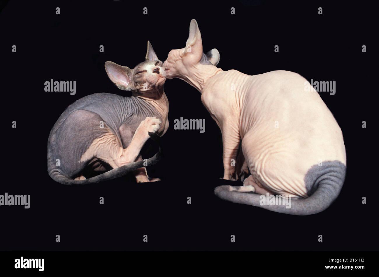 Porträts de chats Sphinx rot selbst Assis En Studio Aktion Aktionen allein Katze Felis Catus Domesticus Katzen Stockbild