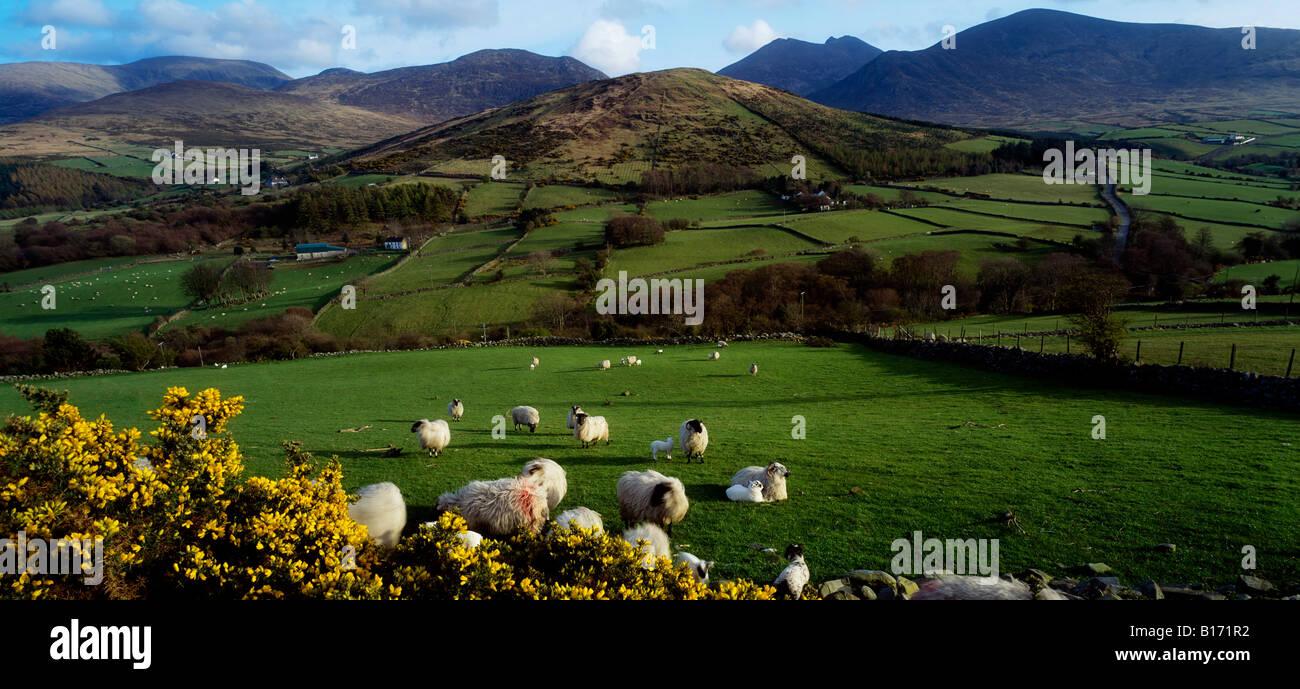 Mourne Mountains, County Down, Irland, Schafe in der Nähe von Tullymore Forest Park, Stockfoto