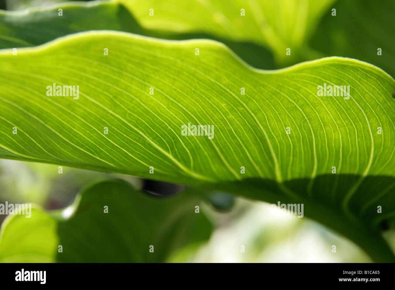 Detail des Blattes wieder beleuchtet beleuchtete. Stockbild