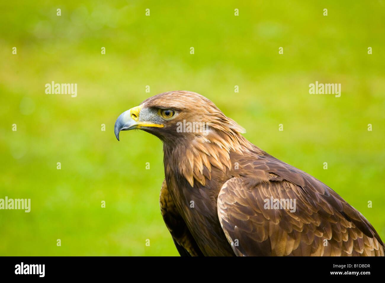 Porträt Von Steinadler British Birds Of Prey Uk Stockfoto Bild